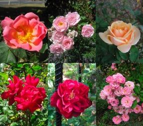 Alister Clark Rose Garden